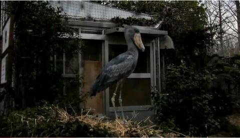 東日本大震災 地震発生にハシビロコウが驚いた[上野動物園]