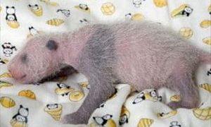 安住紳一郎 2017年上野パンダ赤ちゃん誕生と世間の変化を語る