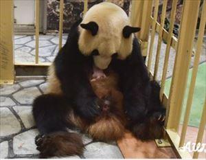 安住紳一郎 和歌山パンダ永明 14頭目の赤ちゃんパンダ誕生を語る