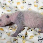 ピエール瀧 上野の赤ちゃんパンダ名前候補「ピンクピン太郎」を語る