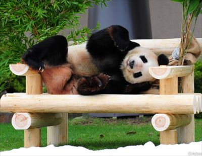 プチ鹿島 パンダ界の「紀州のドン・ファン」を語る