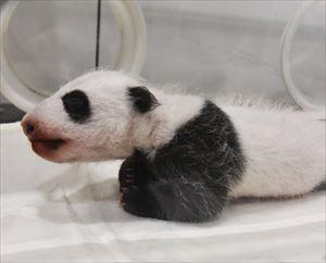 安住紳一郎 2018年和歌山パンダの赤ちゃん名前予想プロジェクトを始動する