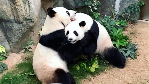 安住紳一郎 世界的なパンダ出産ラッシュの予感を語る