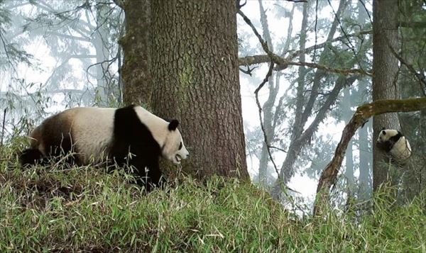 安住紳一郎 中国・臥龍パンダ保護センター周辺の筍の美味しさを語る