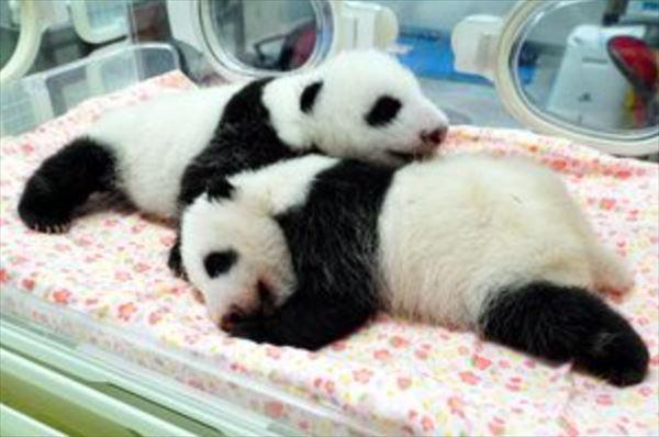 安住紳一郎 2021年上野双子パンダの名前予想を考える