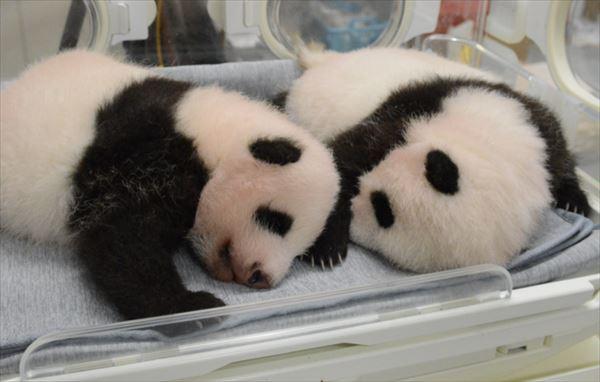 安住紳一郎 上野動物園双子の赤ちゃんパンダ名前予想を公開する